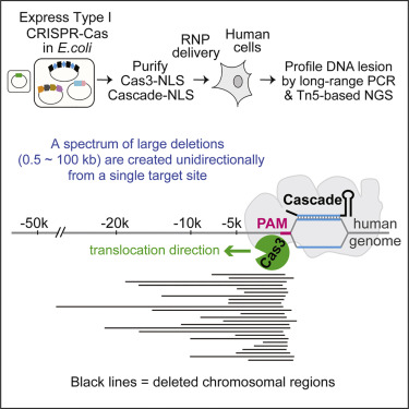 Introducing a Spectrum of Long-Range Genomic Deletions in Human