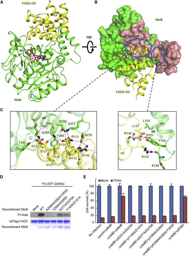 Structural and Functional Insights into Host Death Domains