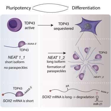 Cross-Regulation between TDP-43 and Paraspeckles Promotes