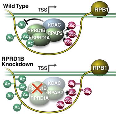 Crosstalk between RNA Pol II C-Terminal Domain Acetylation