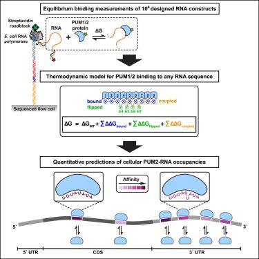 A Quantitative and Predictive Model for RNA Binding by Human Pumilio
