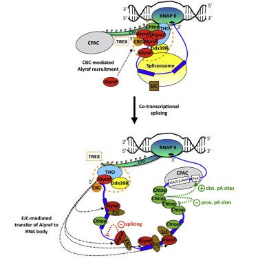 Co-transcriptional Loading of RNA Export Factors Shapes the