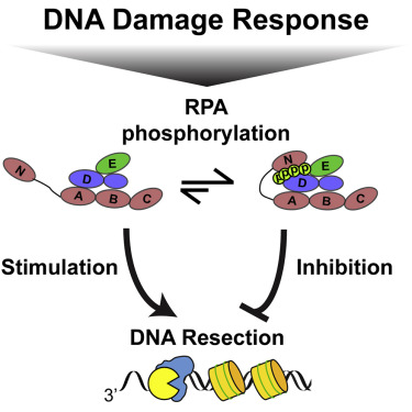 RPA Phosphorylation Inhibits DNA Resection - ScienceDirect
