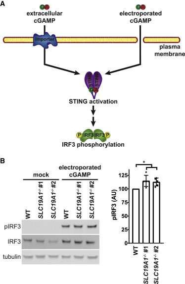 SLC19A1 Is an Importer of the Immunotransmitter cGAMP - ScienceDirect