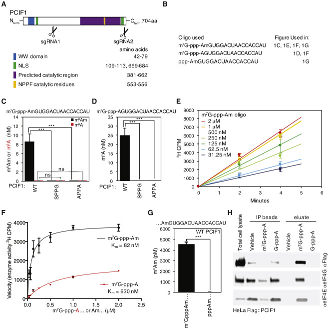 Identification of the m6Am Methyltransferase PCIF1 Reveals the