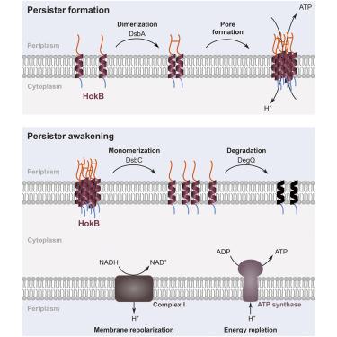 Enigmatic Chemical Tag Is Altered In >> Hokb Monomerization And Membrane Repolarization Control