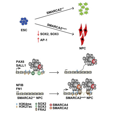 Heterozygous Mutations in SMARCA2 Reprogram the Enhancer Landscape