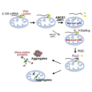 MISTERMINATE Mechanistically Links Mitochondrial Dysfunction