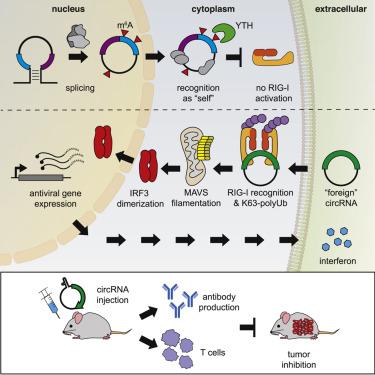 N6-Methyladenosine Modification Controls Circular RNA