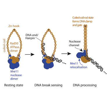 Mechanism of DNA End Sensing and Processing by the Mre11