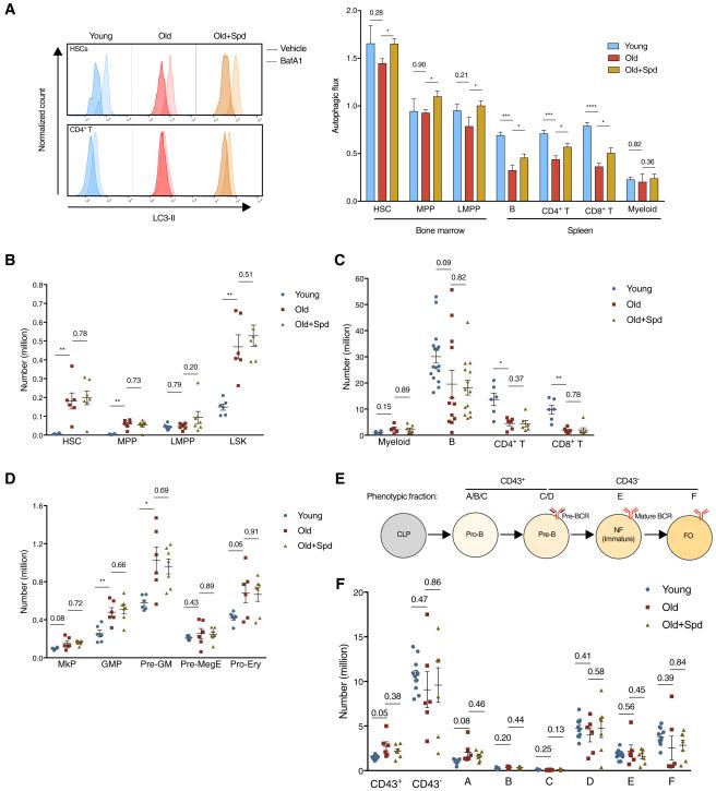 Polyamines Control eIF5A Hypusination, TFEB Translation, and