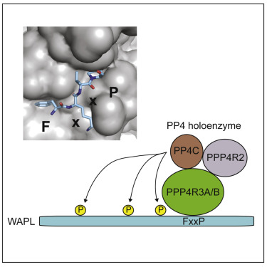 A Consensus Binding Motif for the PP4 Protein Phosphatase