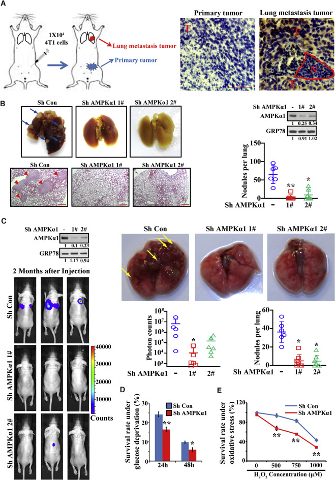Phosphorylation of PDHA by AMPK Drives TCA Cycle to Promote Cancer ...