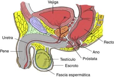 qué familia de enzimas están involucradas en el proceso vascular de la erección