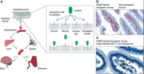 Understanding How Listeria Monocytogenes Targets And Crosses Host Barriers Sciencedirect