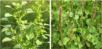 Toxicity Of Acalypha Indica Euphorbiaceae And Achyranthes Aspera
