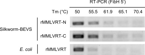 Expression of the thermostable Moloney murine leukemia virus