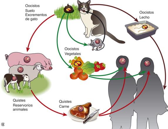Resultado de imagen para toxoplasma gondii ciclo de vida
