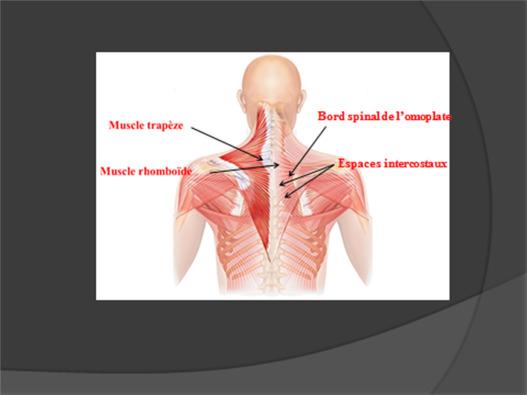 Innervation de la paroi thoracique