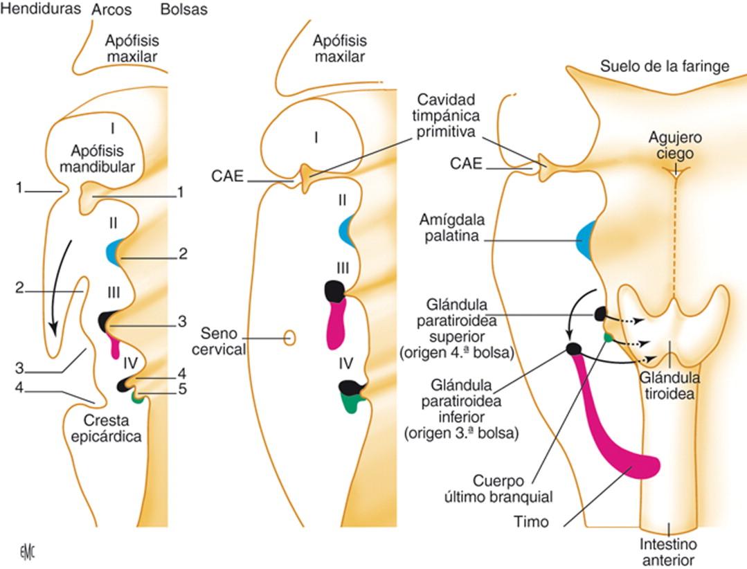 Anestesia y reanimación en cirugía de las glándulas paratiroideas ...