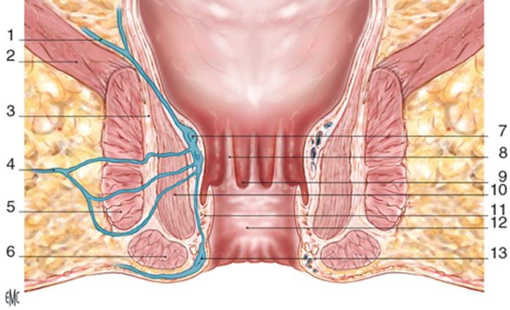 Anatomía quirúrgica de la región anal - ScienceDirect