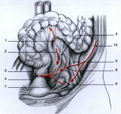 Anatomía clínica del aparato genital femenino - ScienceDirect