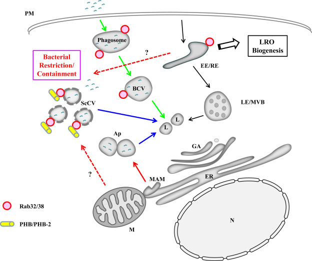 Rab3238 and the xenophagic restriction of intracellular bacteria a schematic diagram of a generalized cell illustrating the membrane compartments and pathways relevant to phagocytosis green arrows endocytosis black ccuart Choice Image
