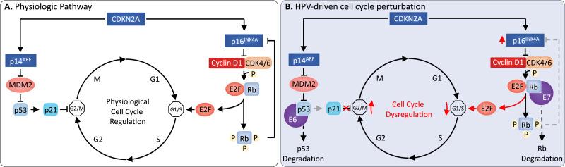 human papillomavirus infection mechanism of action
