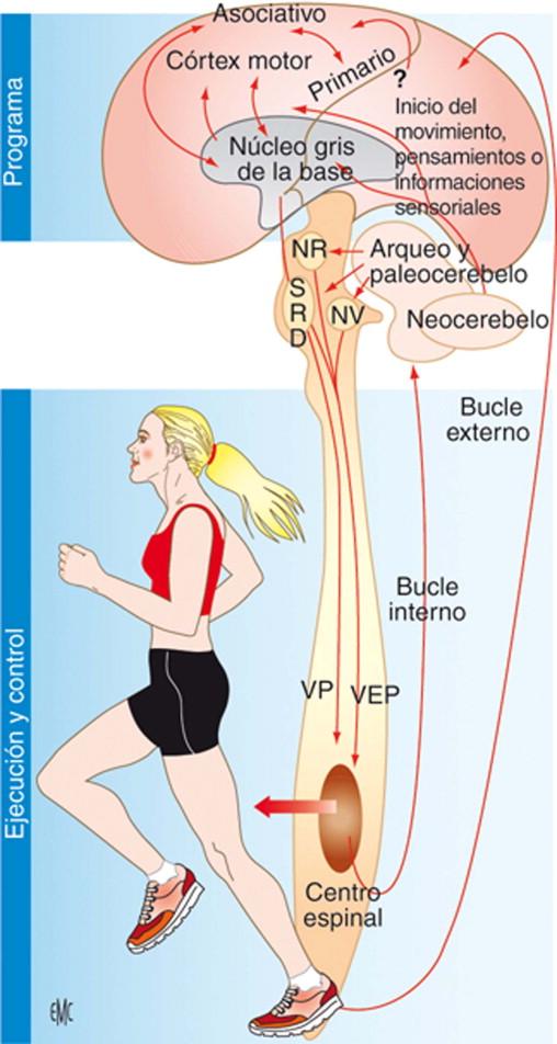 Anatomía y fisiología de la marcha, de la posición sentada y de la ...