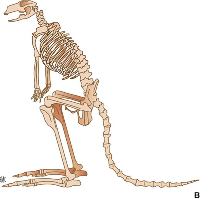 Excepcional Canguro Anatomía Femenina Ilustración - Imágenes de ...