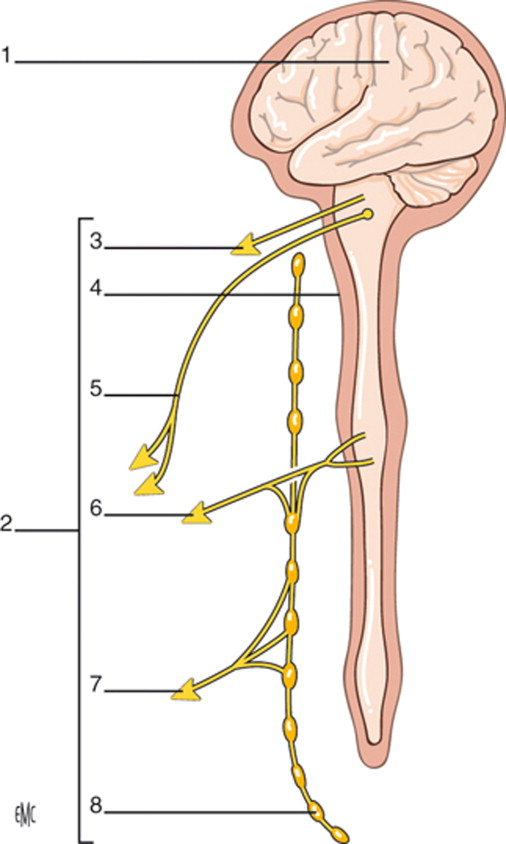Anatomía, histología y fisiología del nervio periférico - ScienceDirect