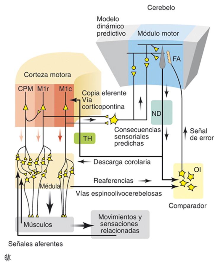 Neurofisiología del movimiento. Aprendizaje motor - ScienceDirect