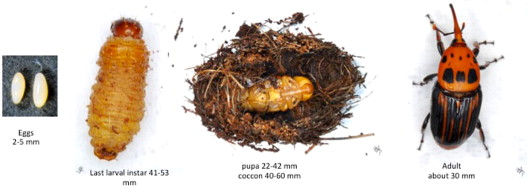 Exotic insect pests: The impact of the Red Palm Weevil on