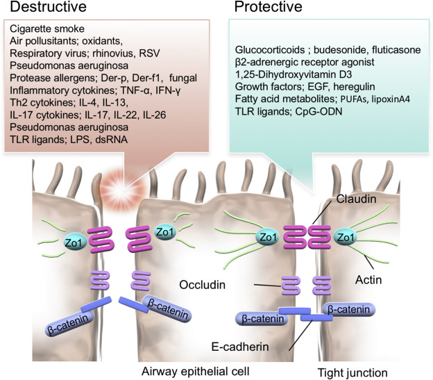 Role Of Airway Epithelial Barrier Dysfunction In