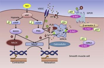 nitrogenoxid og erektioner