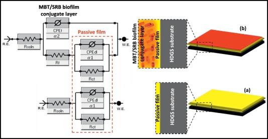 Effect of benzothiazole biocide on SRB-induced biocorrosion