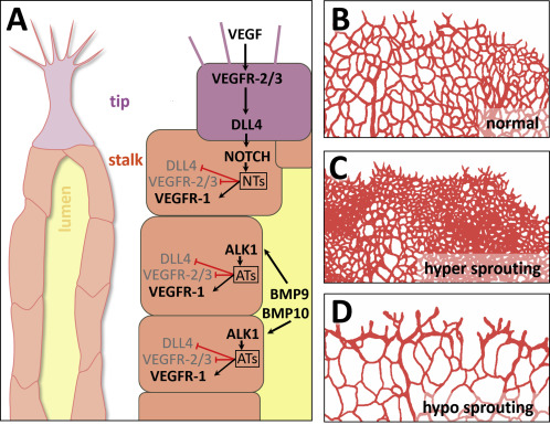 Retinal vasculature development in health and disease - ScienceDirect