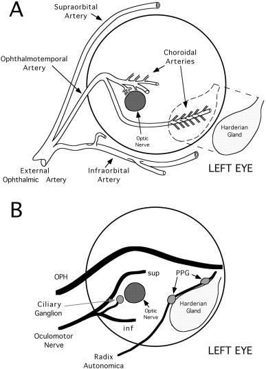 Neural Control Of Choroidal Blood Flow