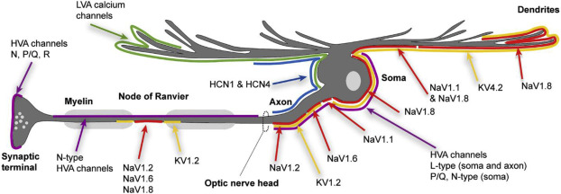Voltage- and calcium-gated ion channels of neurons in the vertebrate