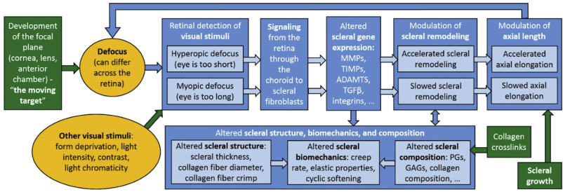 Scleral structure and biomechanics - ScienceDirect