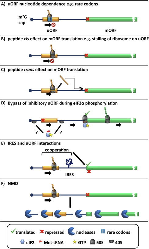 A perspective on mammalian upstream open reading frame function ...