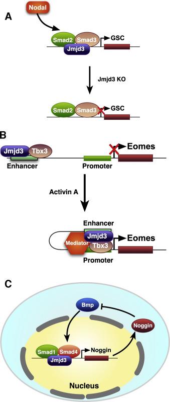 JMJD3 as an epigenetic regulator in development and disease