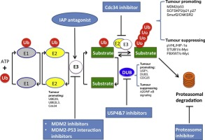 Ubiquitination: Friend and foe in cancer - ScienceDirect
