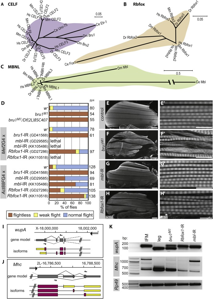 Conserved functions of RNA-binding proteins in muscle - ScienceDirect