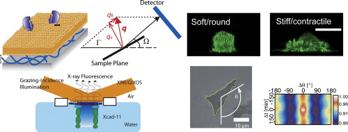 Physics of interactions at biological and biomaterial interfaces