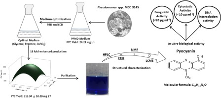 Bioactive pigment production by Pseudomonas spp  MCC 3145