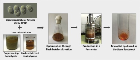 Lipid production from a mixture of sugarcane top hydrolysate and