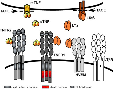 TNF and TNF-receptors: From mediators of cell death and