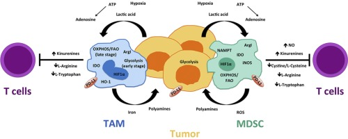 Metabolic regulation of suppressive myeloid cells in cancer