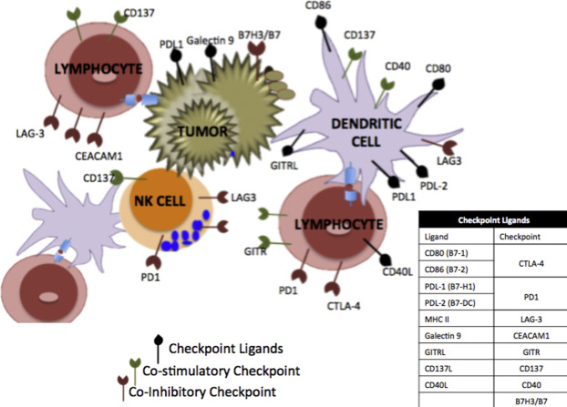 Immunotherapies In Ovarian Cancer Sciencedirect